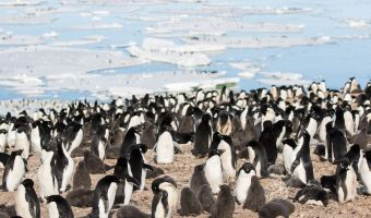 Multiple UAV approach reduces time to survey penguin nests and chicks